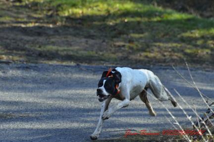 chien de chasse au galop