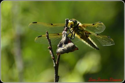 libellule à quatre taches