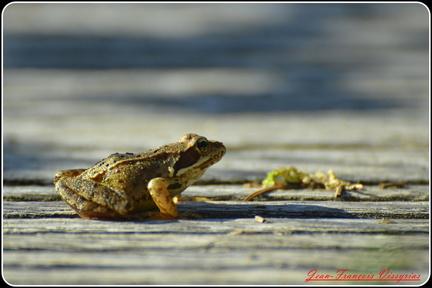 grenouille rousse