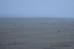 lièvres dans la brume