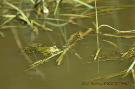 grenouille verte