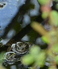 grenouilles vertes