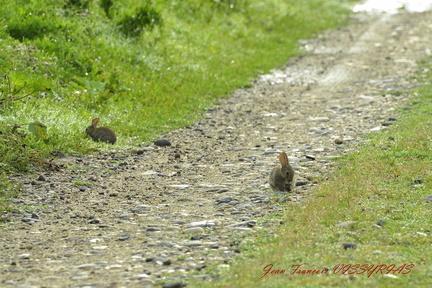 lapins de garenne